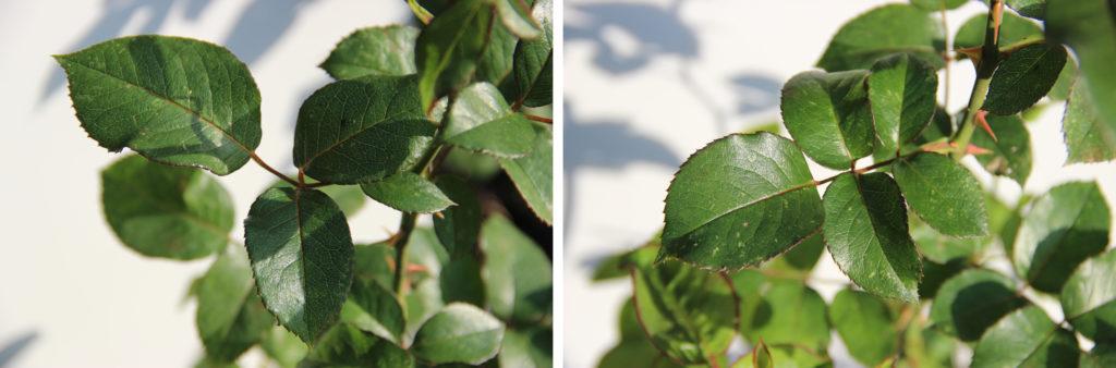 Figure 9 – Feuilles dans la zone générative et dans la zone végétative