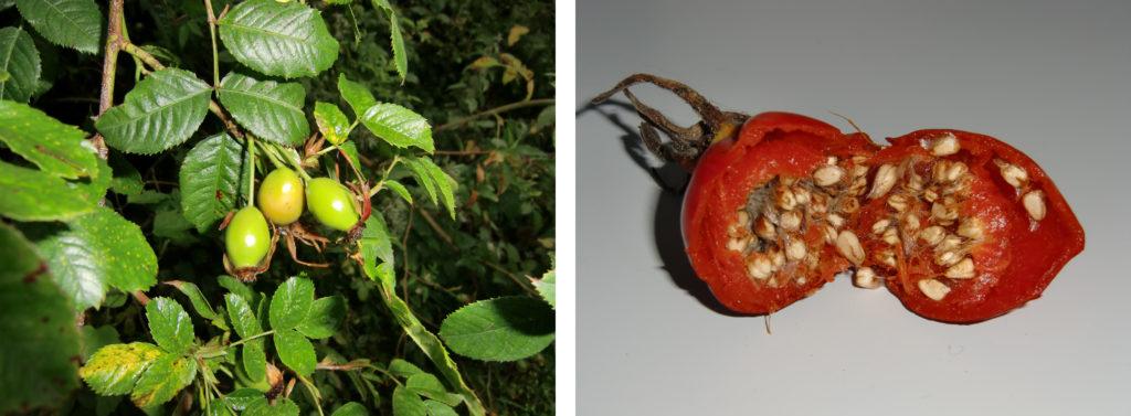 Figure 4 - Cynorrhodon et akènes, Rosa canina (gauche) et Rosa rugosa (droite) (Claustriaux 2012)