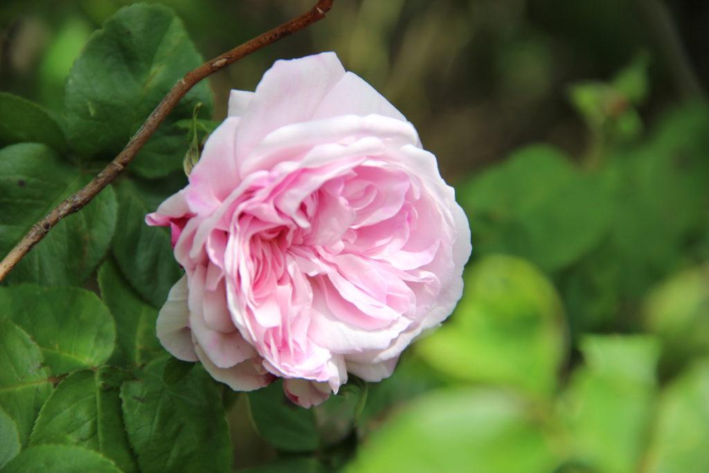 Figure 1 - Parfum poudré et doux : Rosa X centifolia, var. Fantin Latour (Claustriaux, 2015)