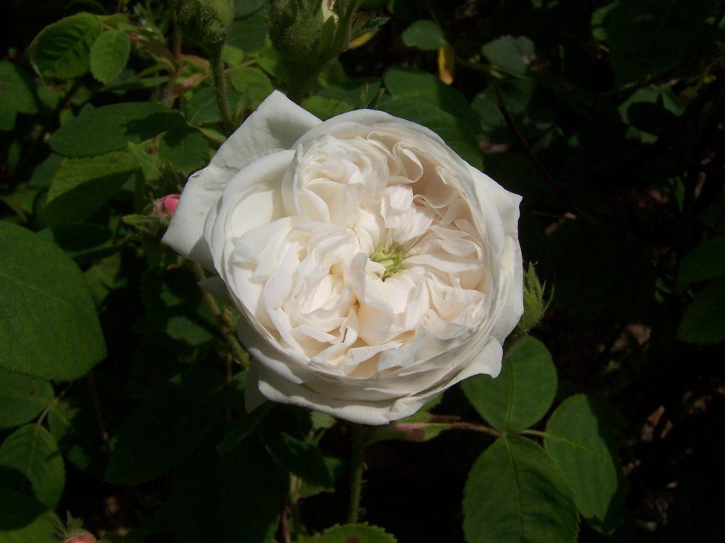 Figure 2 - Parfum lourd et sucré : Rosa X damascena, var. Mme Hardy (Lauwers, 2004)