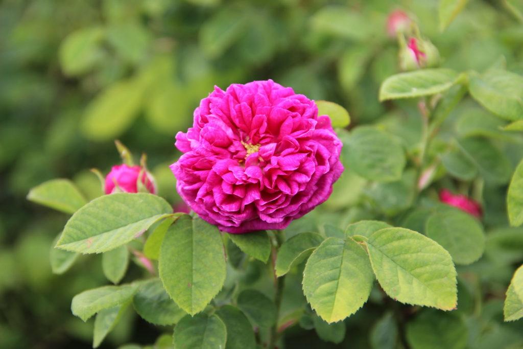 Figure 3 - Parfum citronné : Rosa portlandica, var. Rose de Rescht (Claustriaux, 2015)