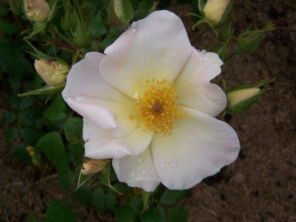 Figure 4 - Parfum musqué : Rosa X moschata, var. Sally Holmes (Lauwers, 2004)