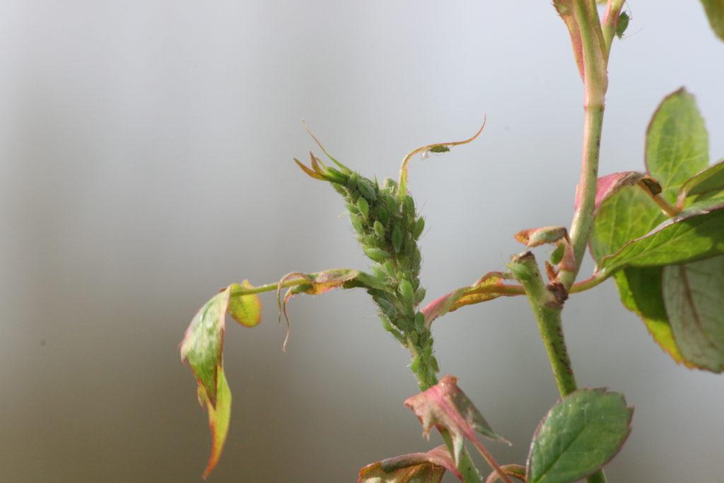 Pucerons verts [Claustriaux, 2015]