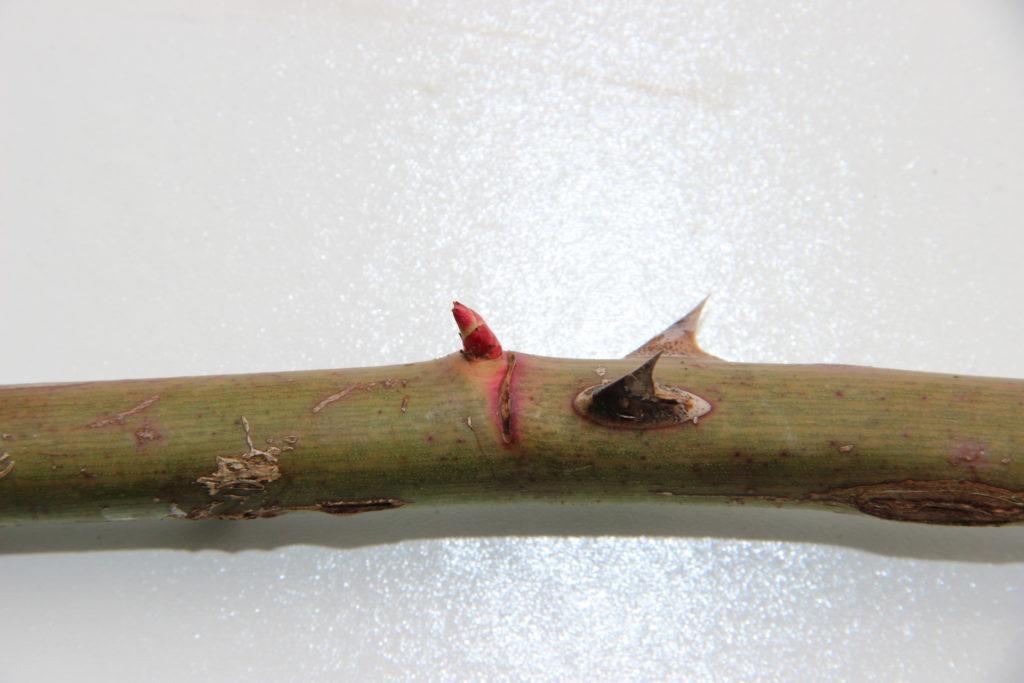 Figure 1 - L'œil du rosier