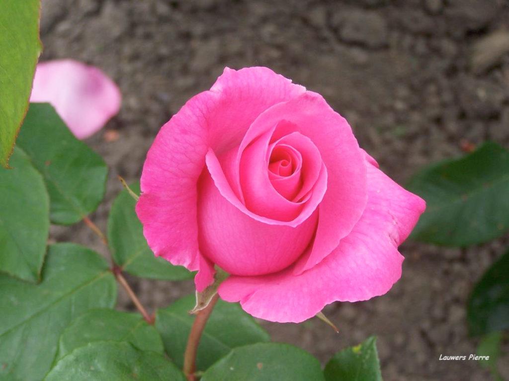 The-McCartney-Rose-03