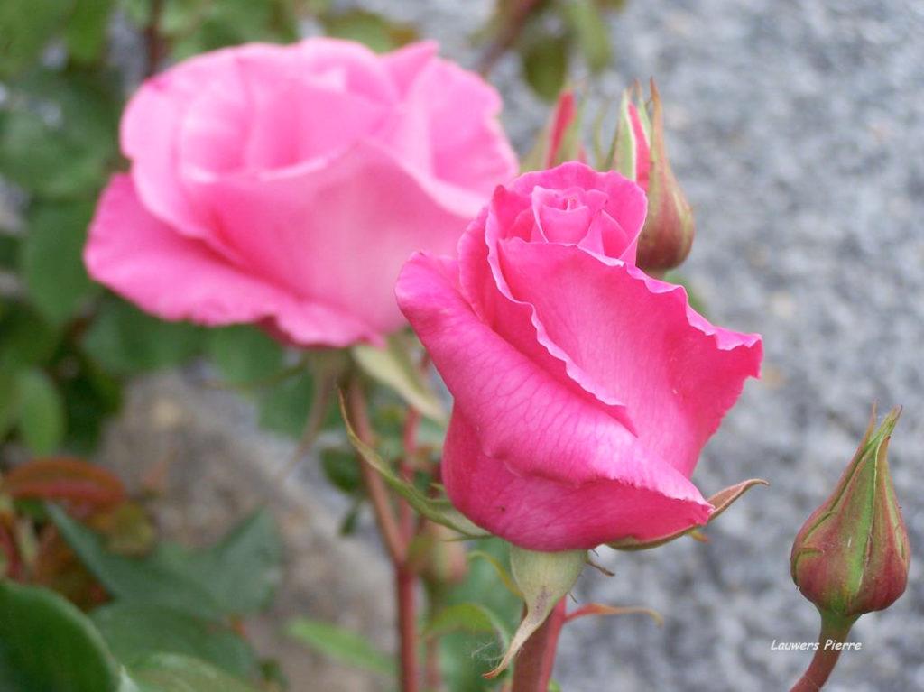 The-McCartney-Rose-05