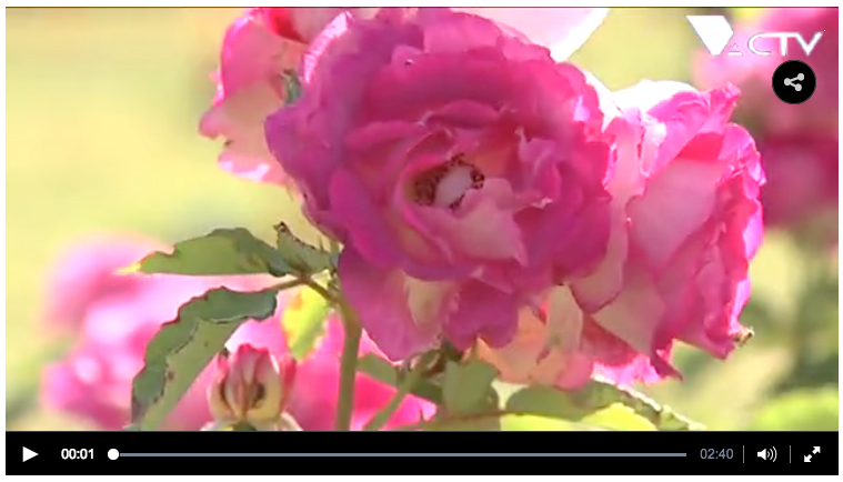 reportage-actv-roses