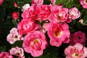 Photos du 54e Concours International de Roses Nouvelles du Roeulx