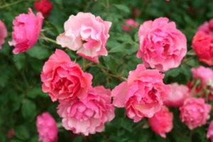 Photos du 46e Concours International de Roses Nouvelles du Roeulx