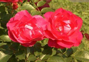 """Reportage ACTV """"Le Roeulx : Concours international de Roses nouvelles"""""""